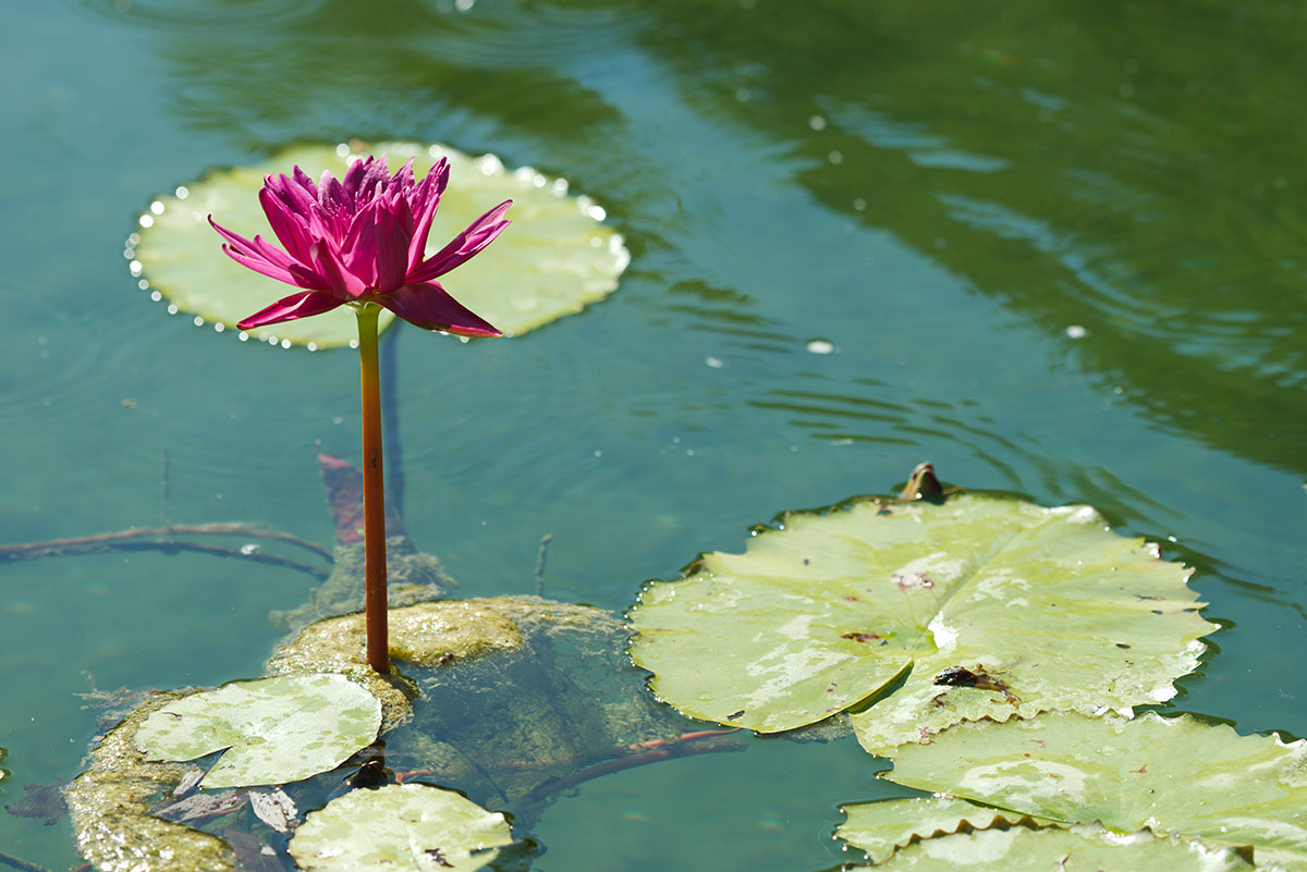 red-water-lily-flower-emerging-from-water-pond-blog